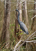 Cypress - Tricolored Heron by Juergen Roth