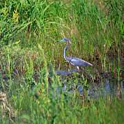 Louisiana Heron Posters - Tricolored Heron Poster by Louise Heusinkveld