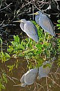 Tricolored Heron Framed Prints - Tricolored Heron Pair Framed Print by Alan Lenk