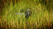 Wetlands Framed Prints - Tricolored Heron Framed Print by Rich Franco