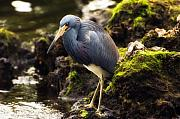 Sanibel Art - Tricolored Heron by Rich Leighton