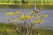 Egretta Tricolor Posters - Tricolored Heron Tree Poster by Al Powell Photography USA