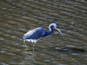 Tri Colored Prints - Tricolored Heron Wading Print by Al Powell Photography USA