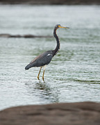 Tricolored Heron Posters - Tricolored..  Poster by Nina Stavlund