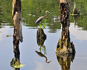 Louisiana Heron Posters - Tricolored Reflection Poster by Al Powell Photography USA