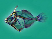 False-coloured Posters - Triggerfish Skeleton, X-ray Poster by D. Roberts