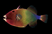 Trigger Fish Prints - Triggerfish, X-ray Print by D. Roberts