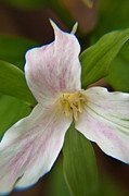 Birthroot Framed Prints - Trillium Up Close Framed Print by Douglas Barnett