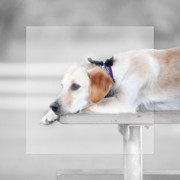 Golden Retriever Photos - Trinity Resting by Anthony Rego
