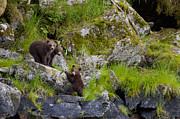 Tim Grams - Trio of Bear Cubs