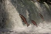 Chinook Posters - Trio of Jumping Salmon Poster by Tim Grams