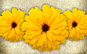 Ornamental Flower Prints - Trio of Orange Helianthus Print by Chris Thaxter