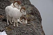 Trio Photos - Trio of Rams by Tim Grams