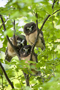 Birds Art - Triple Cute Saw-whet Owls by Tim Grams