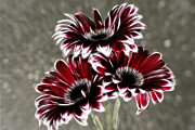 Triple Gerbera Fractalius Print by Paul and Fe Photography Messenger