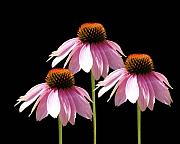 Purple Flowers Digital Art - Triple Purple Echinacea Flowers  by Cathy  Beharriell