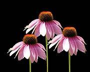 Cathy  Beharriell - Triple Purple Echinacea Flowers