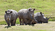 Rhinoceros Framed Prints - Triple Trouble Framed Print by David Rische