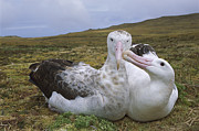 Critically Endangered Animals Prints - Tristan Albatross Diomedea Dabbenena Print by Tui De Roy