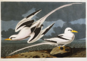 Flying Birds Prints - Tropic Bird Print by John James Audubon