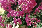 Bougainvilleas Prints - Tropical Bougainvillea Flowers Print by Marilyn Wilson