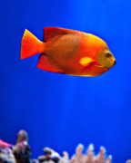 Colorful Tropical Fish  Photos - Tropical Fish 1 by Art Block Collections