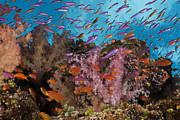 Featured Art - Tropical Fish Schoolin On Coral Reef by Reinhard Dirscherl