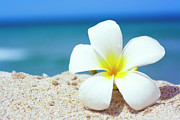 Frangipani Photos - Tropical flower by MotHaiBaPhoto Prints