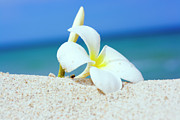 Frangipani Photos - Tropical flower Plumeria  by MotHaiBaPhoto Prints