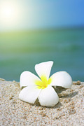 Frangipani Photos - Tropical flower Plumeria on the beach by MotHaiBaPhoto Prints