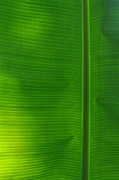 Peter  McIntosh - Tropical Leaf 1