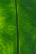 Peter  McIntosh - Tropical Leaf 2
