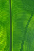 Peter  McIntosh - Tropical Leaf 3