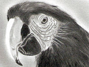 Macaw Drawings - Tropical Macaw in Pencil by Claudiu Radulescu