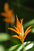 Flower Blooming Photos - Tropical orange heliconia flower by Elena Elisseeva