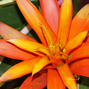 Bromeliad Photo Posters - Tropical Orange Poster by Suzanne Gaff