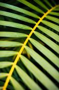 Frond Prints - Tropical Palm Frond Print by Quincy Dein - Printscapes