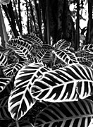 Hawaii Islands Photos - Tropical Plants On The Rainforest Floor by Melinda Podor