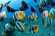 Reef Fish Posters - Tropical Reef Fish Poster by Matthew Oldfield