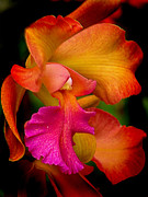 Cattleya Posters - Tropical Splendor Poster by Blair Wainman