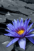 Colorkey Digital Art Metal Prints - Tropical Waterlily Metal Print by Design Windmill