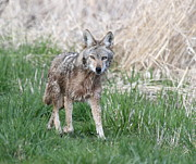 Trotting Photos - Trotting Coyote by Angie Vogel