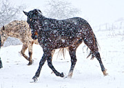 Horse Run Photos - Trotting in the Snow by Betsy A Cutler East Coast Barrier Islands