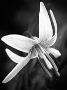 Wildflower Photos - Trout Lily by Jeremy Martin