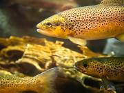 Food Photo Posters - Trout swiming in a River Poster by Bob Orsillo