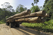 Danum Valley Conservation Area Prints - Truck With Timber From A Logging Area Print by Thomas Marent
