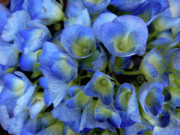 Blue Flowers Photos - True Blue by Donna Blackhall