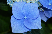 Garden Flowers Photo Originals - True Blue. by Terence Davis