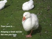 Love - True Love 5 Geese by Dawn Hay