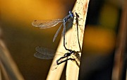 Macro Dragonfly Picture Posters - True Love Poster by Don Mann